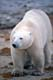 POLAR BEAR WALKING, HUDSON BAY, CHURCHILL