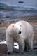 POLAR BEAR WALKING ON SHORE, HUDSON BAY, CHURCHILL