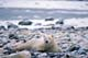 POLAR BEAR RESTING ON SNOWY SHORE, HUDSON BAY, CHURCHILL