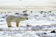 POLAR BEAR ON TUNDRA, CHURCHILL