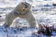 POLAR BEARS WRESTLING, CAPE CHURCHILL, WAPUSK NATIONAL PARK