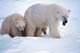 MOTHER POLAR BEAR AND TWO CUBS IN SNOW, CHURCHILL