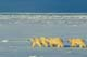 MOTHER POLAR BEAR AND TWO CUBS ON PACK ICE, CHURCHILL