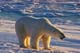 POLAR BEAR ON ICE, CHURCHILL