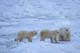 MOTHER POLAR BEAR AND TWO CUBS ON SHORE OF HUDSON BAY, CHURCHILL