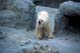 POLAR BEAR, ASSINIBOINE PARK ZOO, WININPEG