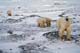 MOTHER POLAR BEAR AND CUBS, CAPE CHURCHILL, WAPUSK NATIONAL PARK