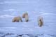 FEMALE POLAR BEAR AND THREE CUBS, CAPE CHURCHILL, WAPUSK NATIONAL PARK