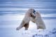 MALE POLAR BEARS SPARRING, CAPE CHURCHILL, WAPUSK NATIONAL PARK