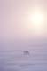 MALE POLAR BEAR IN ICE FOG, CAPE CHURCHILL, WAPUSK NATIONAL PARK