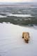 MALE POLAR BEAR AT ICE EDGE, CAPE CHURCHILL, WAPUSK NATIONAL PARK
