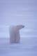 MALE POLAR BEAR ON ICE, CAPE CHURCHILL, WAPUSK NATIONAL PARK