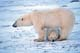 MOTHER POLAR BEAR AND CUB, CAPE CHURCHILL, WAPUSK NATIONAL PARK