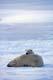 POLAR BEAR AND CUB ON ICE, CAPE CHURCHILL, WAPUSK NATIONAL PARK