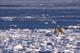 POLAR BEAR ON ICE, CAPE CHURCHILL, WAPUSK NATIONAL PARK