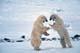 MALE POLAR BEARS SPARRING, CAPE CHURCHILL, WAPUSK NATIONAL PARK