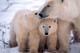 MOTHER POLAR BEAR AND CUBS, CAPE CHURCHILL, WAPUSK NATIONAL PARK