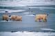 MOTHER POLAR BEAR AND CUBS ON PACK ICE, CAPE CHURCHILL, WAPUSK NATIONAL PARK