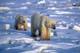 MOTHER POLAR BEAR AND CUB ON PACK ICE, CAPE CHURCHILL, WAPUSK NATIONAL PARK