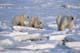 MOTHER POLAR BEAR AND CUBS ON PACK ICE, WAPUSK NATIONAL PARK