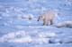 MALE POLAR BEAR ON PACK ICE, CAPE CHURCHILL, WAPUSK NATIONAL PARK