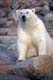 POLAR BEAR WALKING ON ROCKY SHORELINE, WAGER BAY
