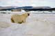 POLAR BEAR ON PACK ICE, WAGER BAY