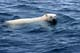 POLAR BEAR SWIMMING IN WATER, WAGER BAY
