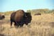BISON IN AUTUMN GRASS, RIDING MOUNTAIN NATIONAL PARK