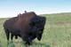 BISON BULL ON GRASSLANDS, COWBIRDS ON BACK, RIDING MOUNTAIN NATIONAL PARK