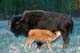 BISON COW AND CALF, RIDING MOUNTAIN NATIONAL PARK
