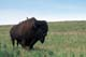 BISON BULL WITH COWBIRDS ON BACK, RIDING MOUNTAIN NATIONAL PARK