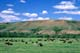 BISON GRAZING IN GREEN SUMMER VALLEY, PARADISE VALLEY