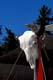 BUFFALO SKULL AT FUR TRADER CAMP, GREIG LAKE, MEADOW LAKE PROVINCIAL PARK