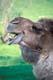 HEAD VIEW OF LAUGHING CAMEL, OSHAWA