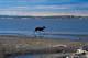 BARRENLAND CARIBOU ON BEACH, HERSCHEL