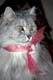 SILVER PERSIAN IN ROSE CHIFFON BOW, PORT PERRY