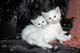 KITTENS PLAYING ON COUCH, SASKATOON