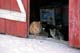 FARM CATS SITTING IN DOOR TO BARN IN WINTER, NEUHORST