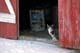 FARM CAT SITTING IN DOOR TO BARN IN WINTER, NEUHORST