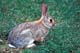 MOUNTAIN COTTONTAIL RABBIT IN GRASS, WRITING-ON-STONE PROVINCIAL PARK