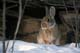 MOUNTAIN COTTONTAIL BY LOG IN WINTER, MEDICINE HAT