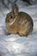 MOUNTAIN COTTONTAIL IN SNOW, MEDICINE HAT