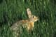 MOUNTAIN COTTONTAIL IN GREEN GRASS, MEDICINE HAT
