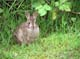 MOUNTAIN COTTONTAIL IN GRASS, CHILLIWACK