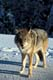 COYOTE IN SNOW, RIDING MOUNTAIN NATIONAL PARK