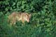 COYOTE IN SUMMER GRASS, RIDING MOUNTAIN NATIONAL PARK