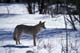 COYOTE IN WINTER FOREST, RIDING MOUNTAIN NATIONAL PARK