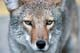 COYOTE CLOSE-UP, RIDING MOUNTAIN NATIONAL PARK