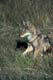 COYOTE IN GRASS, RIDING MOUNTAIN NATIONAL PARK